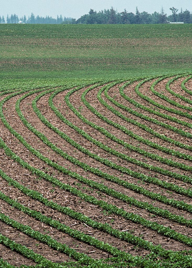 A soybean field with rows of soybeans planted along the contour of a hillslope.