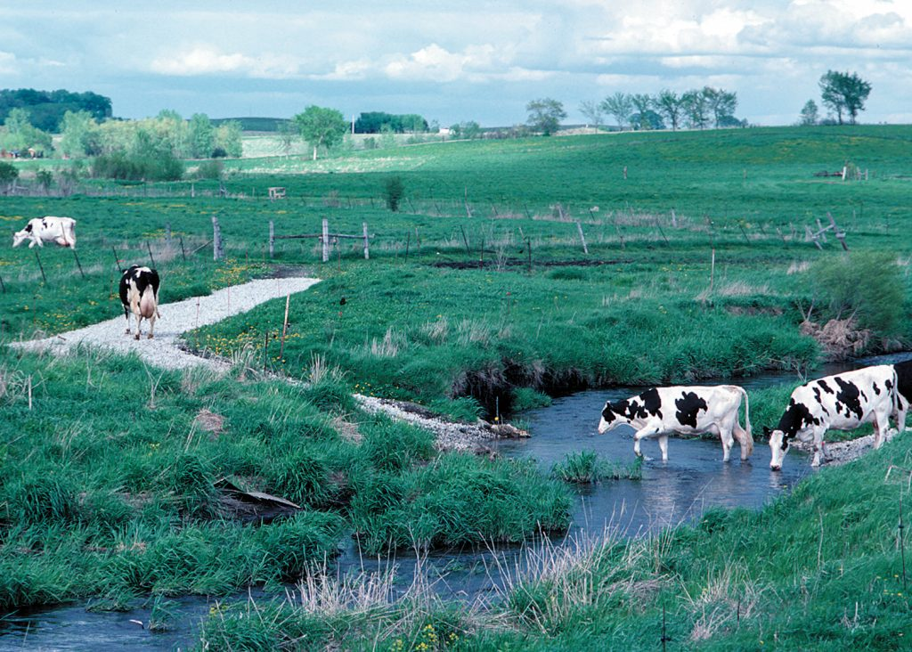 Cows cross a stream over a gravel-lined crossing
