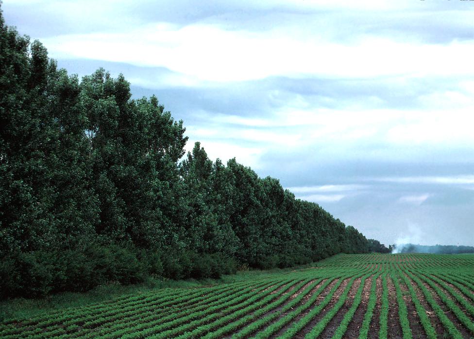 A windbreak of trees in a row along the edge of a row crop field.