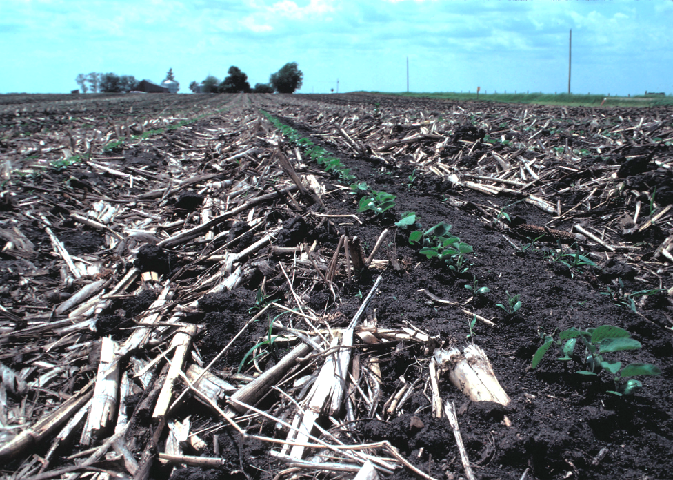 Soybean seedlings emerging in a strip-tilled row with the previous years corn residue surrounding the row on either side.