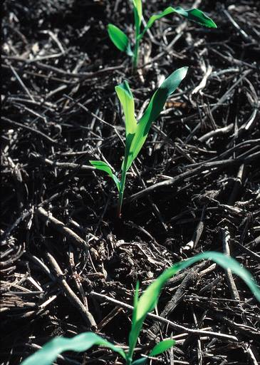 Corn seedlings emerging through existing crop residue in a no-till field.