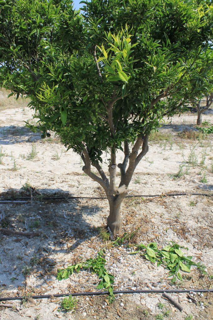 An orange tree irrigated with driplines