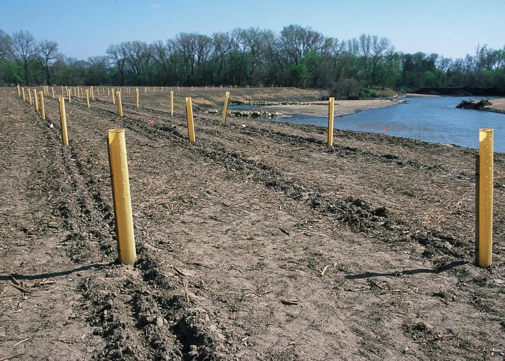 Trees planted and protected in tree tubes on a recently restored riparian buffer strip.