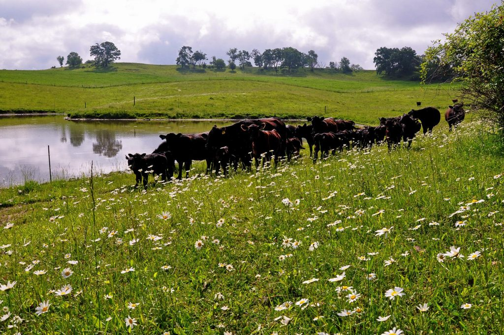 Cattle grazing in a pasture next to a pond