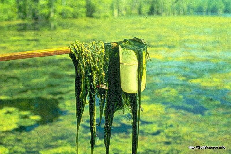 Algae from a farm pond